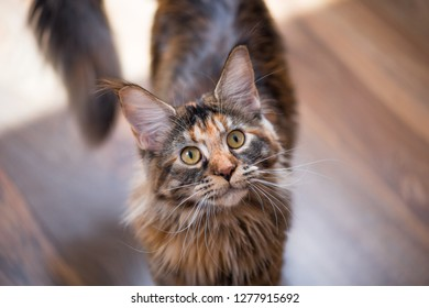 Fluffy tortoiseshell kitty on a floor at home. Portrait of domestic Maine Coon kitten, top view point. Playful beautiful young cat looking upwards.