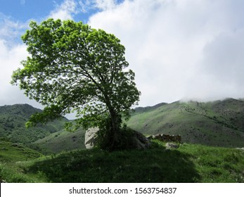 The fluffy tree bent under the strong wind. Tree on the background of greenery, mountains and blue cloudy sky