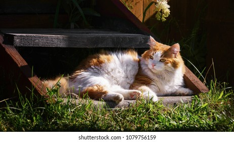 Fluffy, very beautiful red cat, lying on a wooden staircase near the house