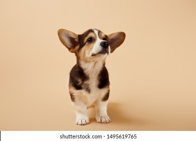 fluffy welsh corgi puppy on beige background