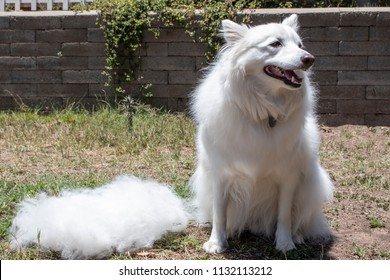 Fluffy White American Eskimo Sits Outdoors next to a Pile of Fur Brushed out of Its Coat during the Summer