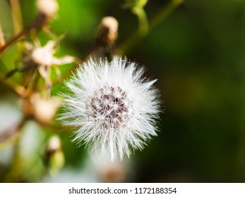 Fluffy white blowball on green background, close up