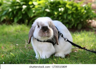 Fluffy, white bunny rabbit exploring in the grass. He is a holland lop, and is very cute, small, and curious! He is wearing a halter with a leash out in our yard. He is a good little pet.