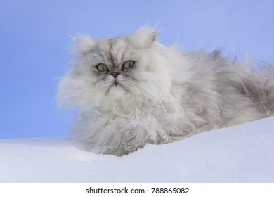 Fluffy white cat in the snow