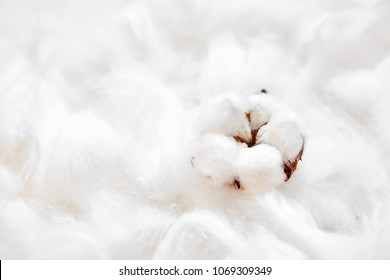 Fluffy white cotton flower