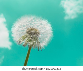fluffy white dandelion against a mint blue sky with white clouds. selective focus