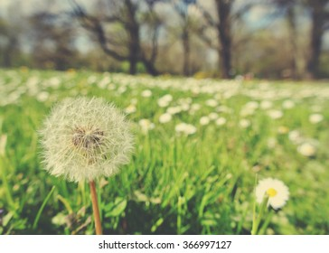 Fluffy white dandelion and white chamomile flowers in the green field on a sunny day. Photo filtered in faded, washed out, retro style with soft focus; nostalgic vintage concept of early spring.