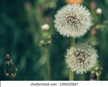 Fluffy white dandelion flower close up. The seeds of a dandelion.