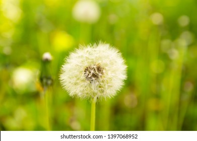 Fluffy white dandelion on a green background. Earth Day.