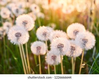 A Lot of Fluffy white dandelions. Glade of dandelions in sunlight