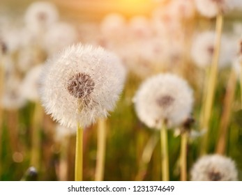 A Lot of Fluffy white dandelions. Glade of dandelions in sunlight. Close up