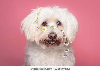 赤ちゃんピンクの背景にふわふわの白い犬の頭でヒナギクをかぶる