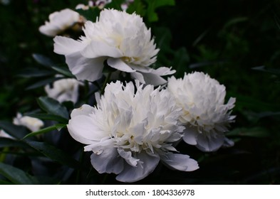 fluffy white peonies on a dark green background