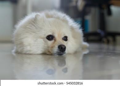 Fluffy White Pomeranian Cute Dog Small Pet Friendly In Home Ez Canvas