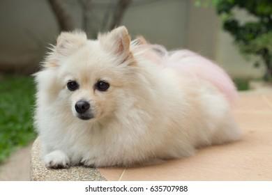fluffy white pomeranian cute dog small pet friendly