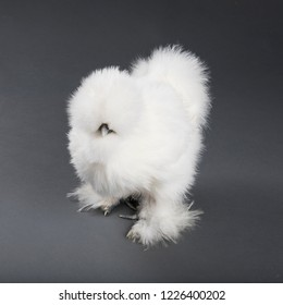 Fluffy white silkie hen photographed in studio on gray background