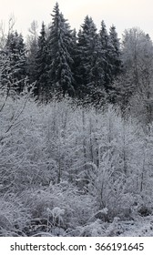 Fluffy, white snow has transformed bushes and high fur trees into very beautiful plants.