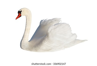 Fluffy white swan, isolated on white surface.