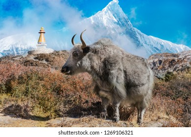Fluffy Yak in Nepal stands in front of a huge mountain massif. A traditional Stupa can be seen in the background.