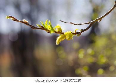 fluffy yellow flowers bloom on a willow branch. Yellow flowers of a willow on a branch in the spring forest. beautiful festive spring background. nature, bokeh, close-up, Macro photo, text