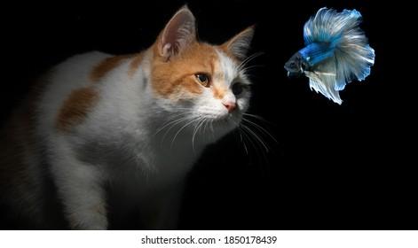 Fluffy yellow white cat and blue betta fish