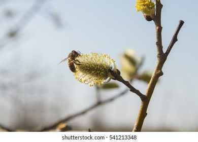 fluffy yellow willow and bee