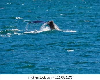 Fluke of a diving humpback whale
