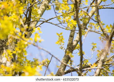 fluorescent green leafs appear on a tree branch on a sunny spring day.