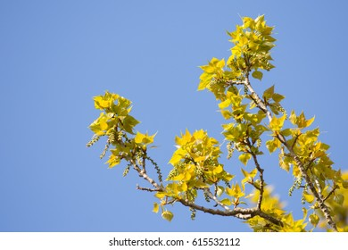 fluorescent green leafs appear on a tree branch on a sunny spring day