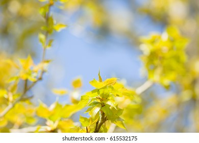 fluorescent green leafs appear on a tree branch on a sunny spring day. This photo has a lot of space to place text