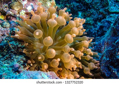 Fluorescent orange bubble tip anemone.
