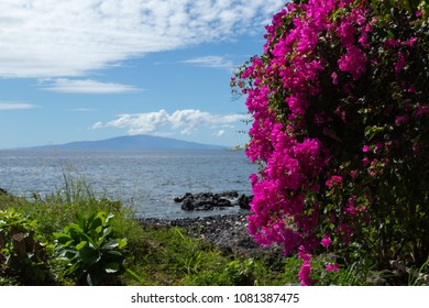 Fluorescent pink, Bougainvillea flowers, stand out brilliantly against the waters and shoreline, of Maui Hawaii, and island of Lanai in the background