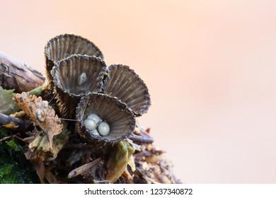 Fluted bird's nest (Cyathus striatus)