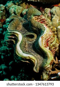 Fluted giant clam's colourful mantle (Tridacna squamosa). Taking in Red Sea, Egypt.