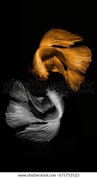 Flutter Fighting Fish Golden Silver Color Stock Photo (Edit