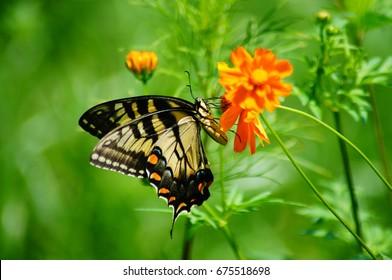 Fluttering butterflies sipping nectar from dainty wildflowers in field.