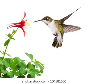 A fluttering ruby throated hummingbird with an open tail, dives into a bright red columbine flower blossom. On a white background