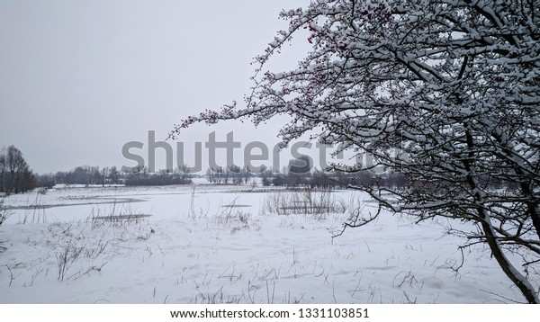 Fluvial landscape, snow covered hawthorn on a river dike in Blauwe Kamer nature reserve along the river Rhine. The Netherlands, winter season 2019