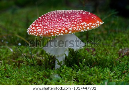 Fly agaric Amanita muscaria in the spruce moss forest. Also known as fly amanita, poisonous mushroom. Natural environment.
