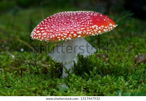 fly-agaric-amanita-muscaria-spruce-600w-