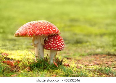 Fly agaric; Amanita muscaria; Two toadstools side by side in the grass; Symbol of luck; White-dotted red mushrooms