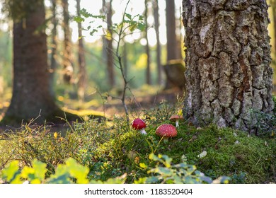 Fly agaric growing in the Scandinavian forest on a late summer day.