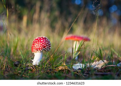 Fly agaric mushroom in forest