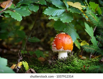 Fly agaric mushroom growing under the beech tree on a moss in the forest.