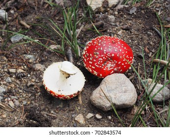 Fly Agaric mushrooms found in the Rocky Mountains in Colorado.  This type of mushroom is poisonous,