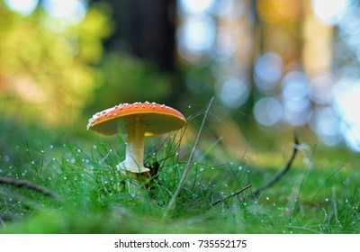 fly agaric toadstool in dewy grass