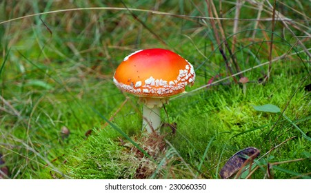 Fly Amanita mushroomed on the forest ground.