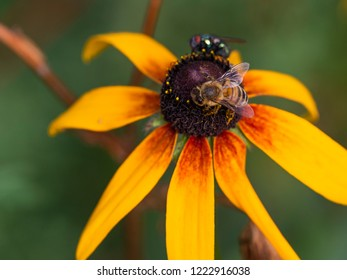 a fly and a bee are drinking nectar on a bright yellow Rudbeckia flower and a green gray background is blurred
