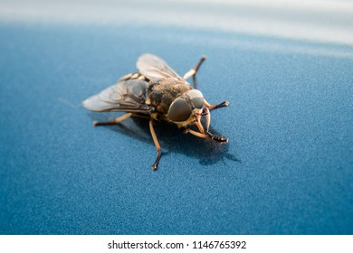 Fly closeup on a blue background. Flying insect