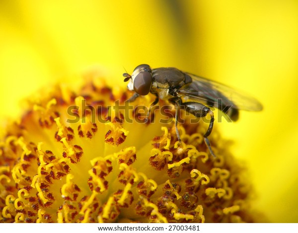 Fly collecting pollen on Red sun bride flower, Helenium autumnale